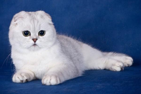 белый шотлондский вислоухий котёнок фото