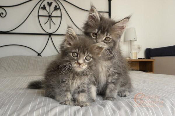 серые котята мейн-куна фото
