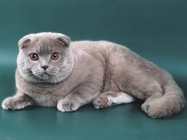 фото серого шотландского вислоухого кота
