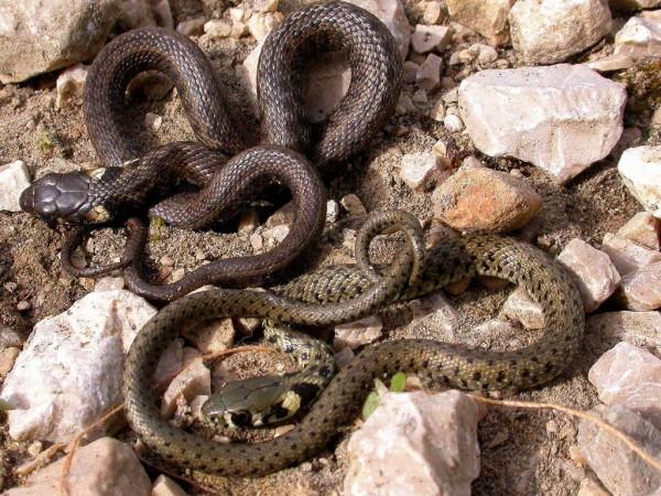 Спаривание змей