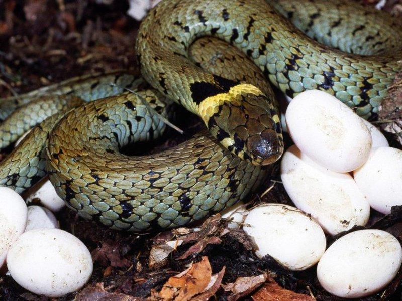 Змея с яйцами