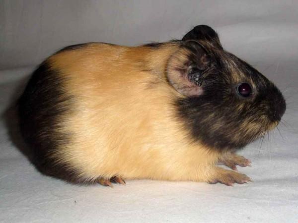 сатиновая морская свинка фото