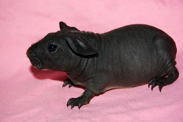 морская свинка редкой породы скинни фото