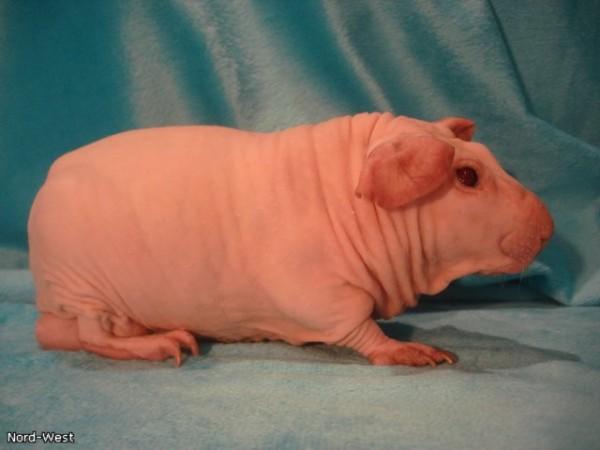 морская свинка редкой породы болдуин фото