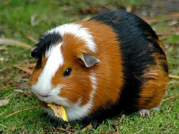 фото морской свинки на траве