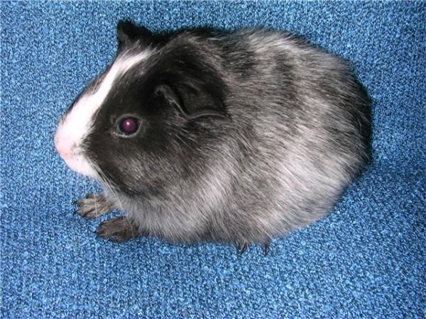 чалая морская свинка фото