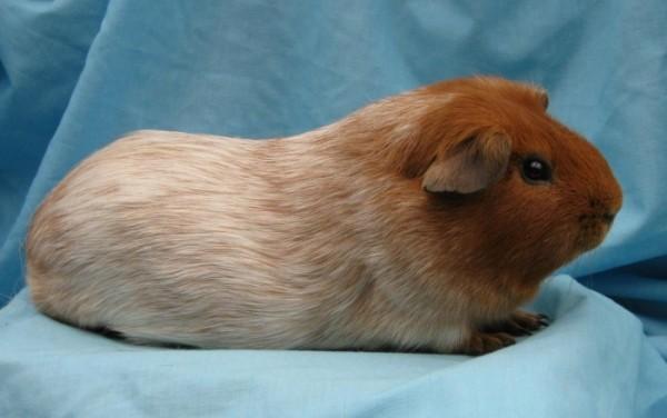 морская свинка породы селф фото