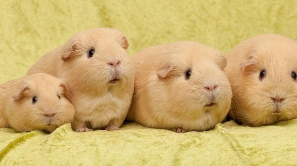морские свинки со своим потомством фото