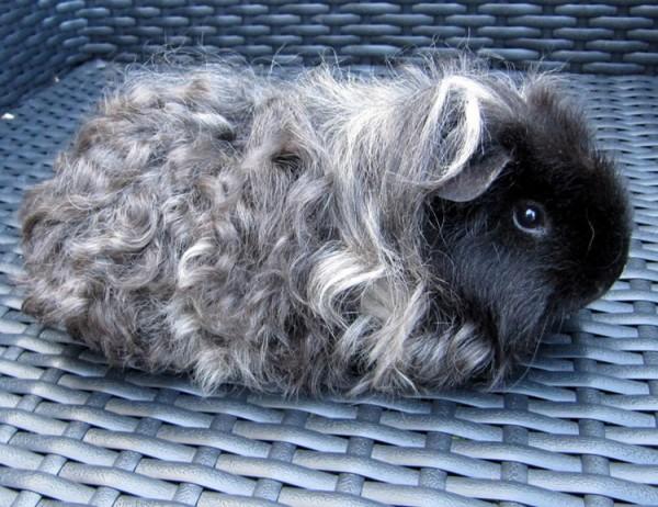 морская свинка породы тексель фото