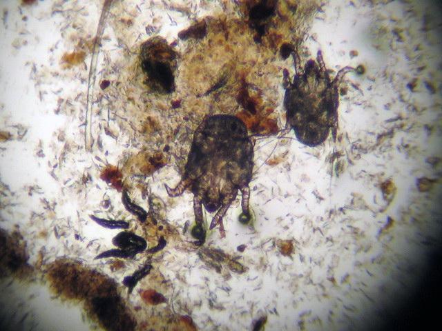 Изображение клеща под микроскопом