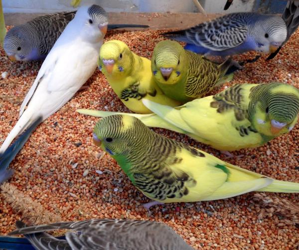 Несколько попугаев ходят в клетке