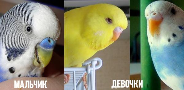 Как отличить попугая