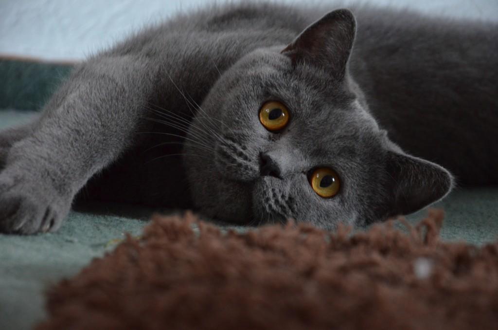 Обзор породы кошек Британская короткошерстная: описание, британские котята