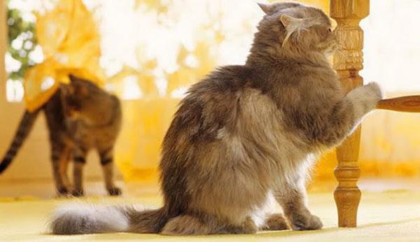 Два кота в доме