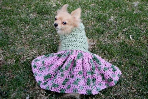 Чихуахуа в платье