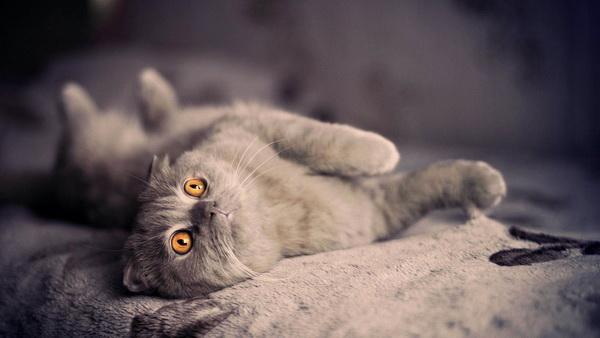 Шотландская вислоухая кошка - полное описание породы с фото