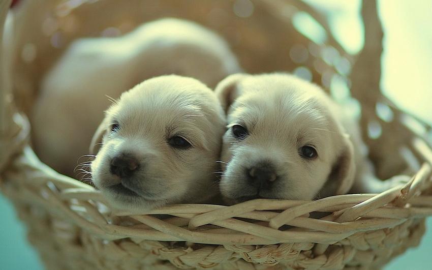 Белые щенки в корзинке