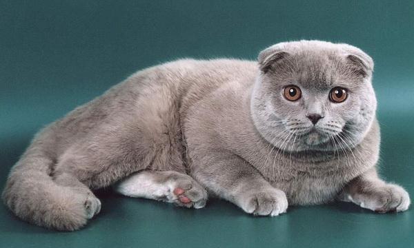 Голубой шотландский кот