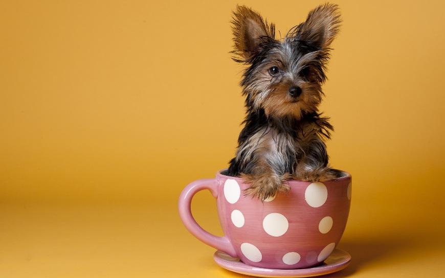 Маленький йорк сидит в чашке