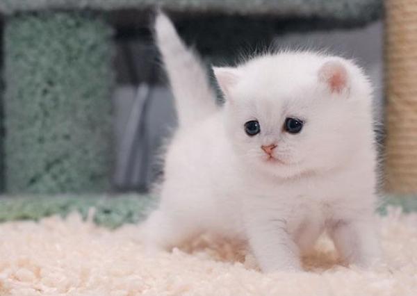 Белый британский котенок