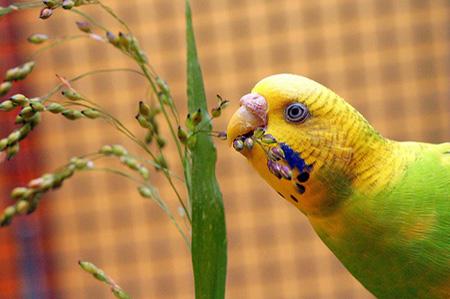 Попугай ест траву
