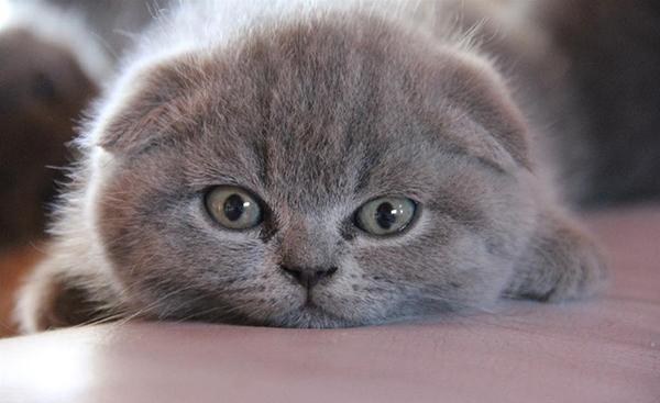 Котенок британской вислоухой породы