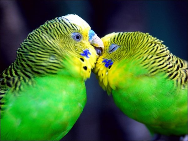 Пара взрослых птиц