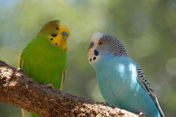 Два взрослых попугая с выразительным окрасом