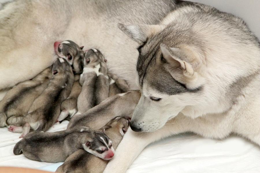Хаски с щеночками
