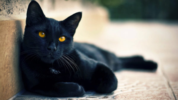Черный кот отдыхает