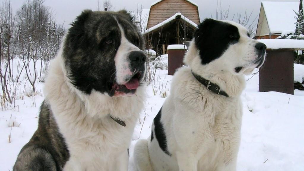 Черно-белые псы