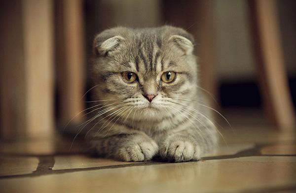 Вислоухая кошечка грустит