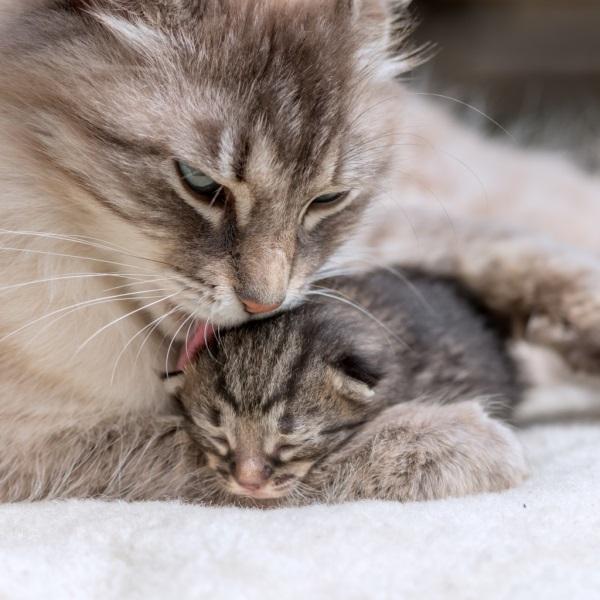 Кошка вылизывает своего малыша