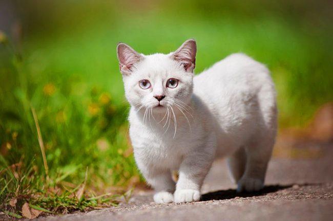 Белый котенок породы Манчкин