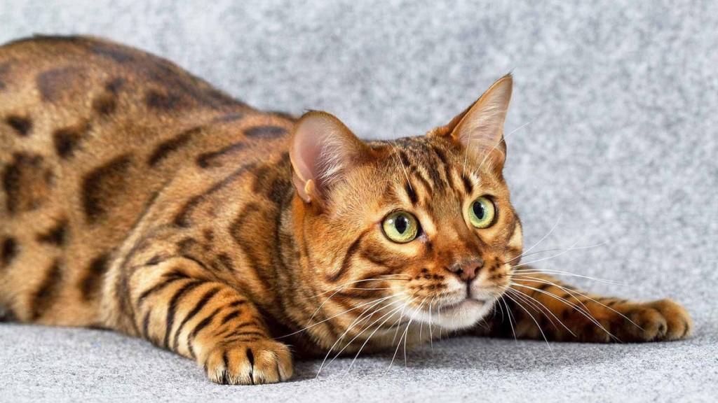 Необычная порода кошачьих