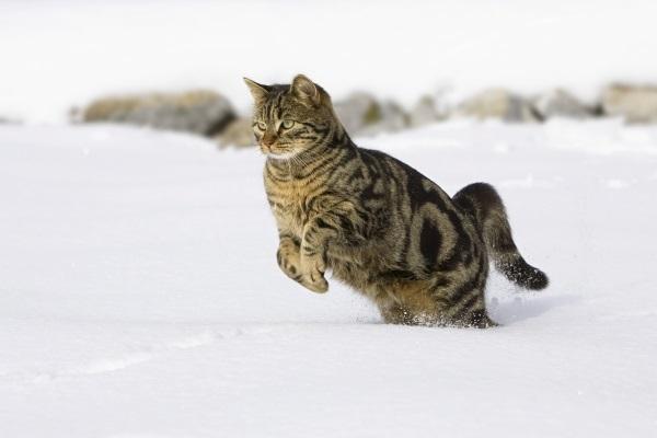 Кот бежит в снегу