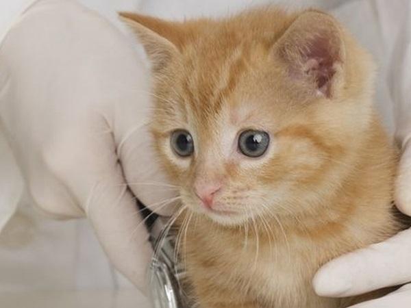 Рыжий котенок у ветеринара