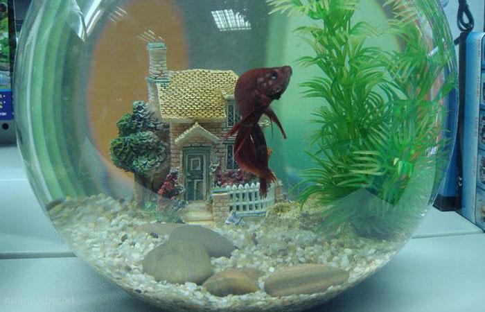 Содержание в круглом аквариуме