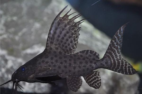 Синодонтис в аквариуме
