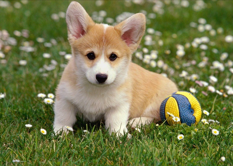 Вельш корги щенок