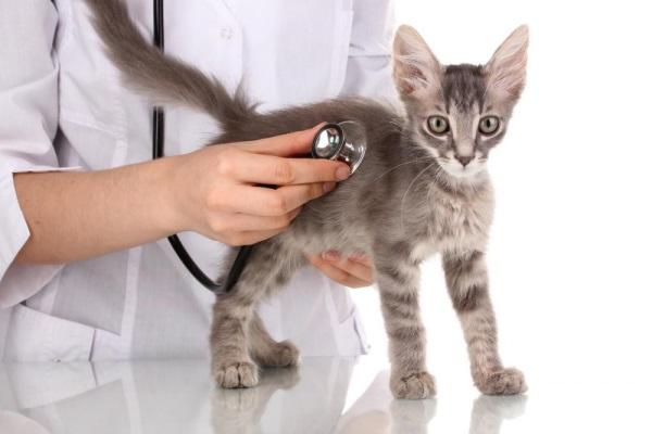 Ветеринар обследует котенка