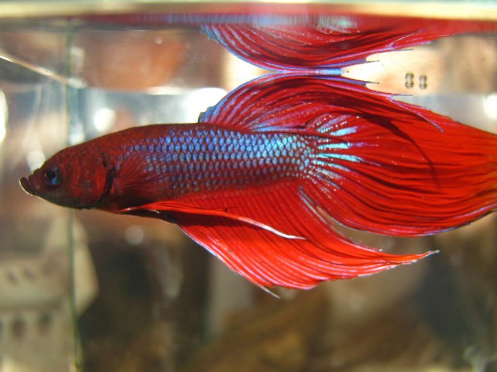 Вуалевый красный самец