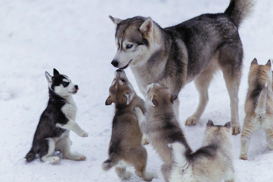 Стайка собак на снегу