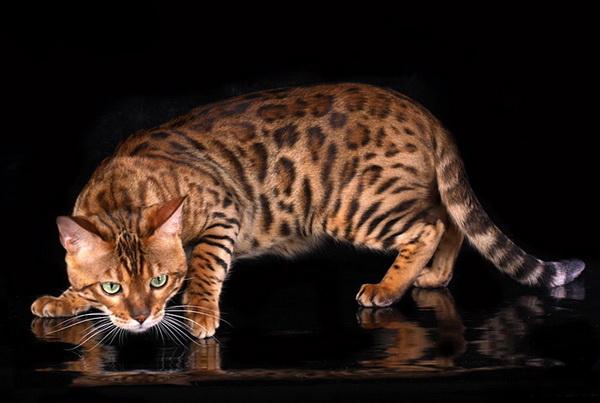 Бенгальский кот на черном фоне