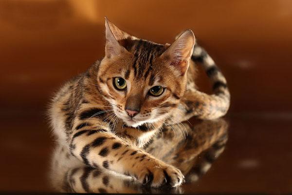 Кот крупным планом лежит