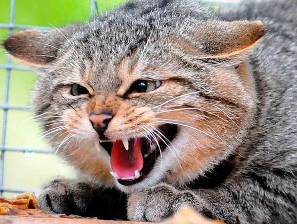Кот в бешенстве
