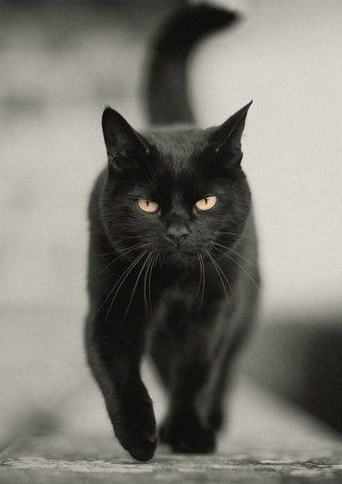 Черный кот крупным планом