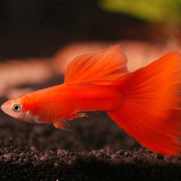 Рыбка красный блондин
