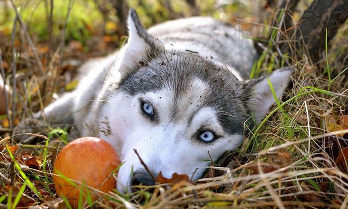 Животное отдыхает в осенних листьях