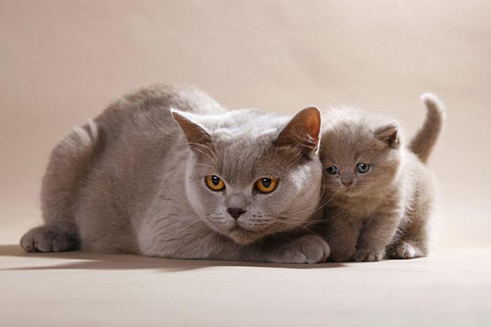 Кошка британской породы с котенком